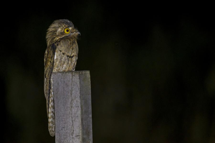 Belize V31RJ Tourist attractions spot Northern Potoo.