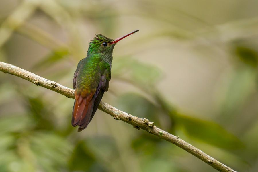 Belize V31RJ Rufous-tailed Hummingbird, Chan Chich Lodge.