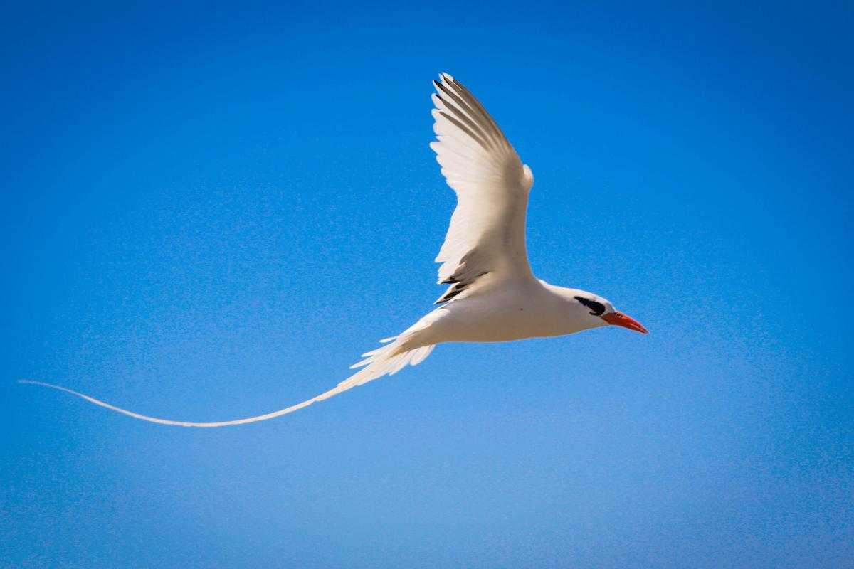 Bermuda Islands N2OO/VP9 KU9C/VP9 VP9HQ Longtail, White-Tailed Tropicbird