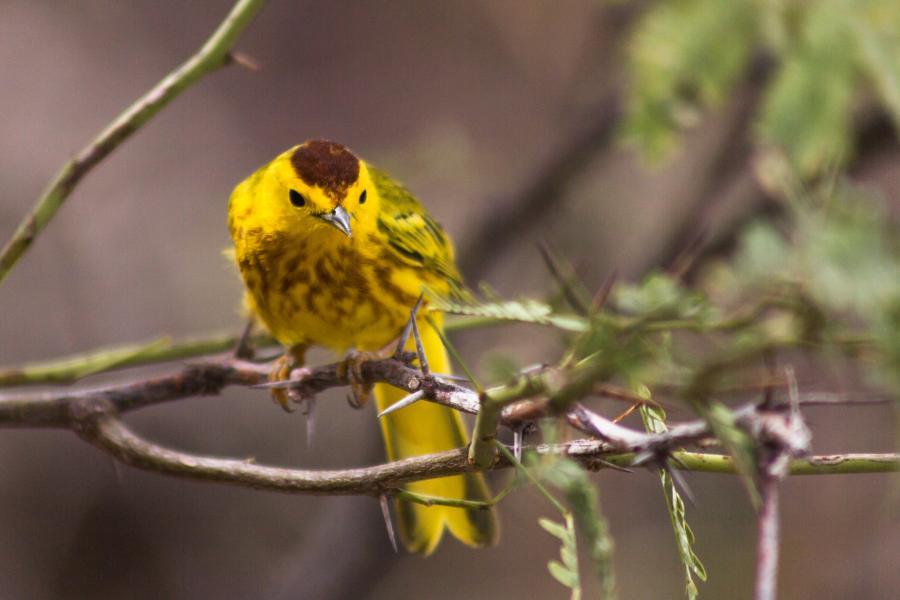 Bonaire Island PJ4/G3USR Golden Warbler