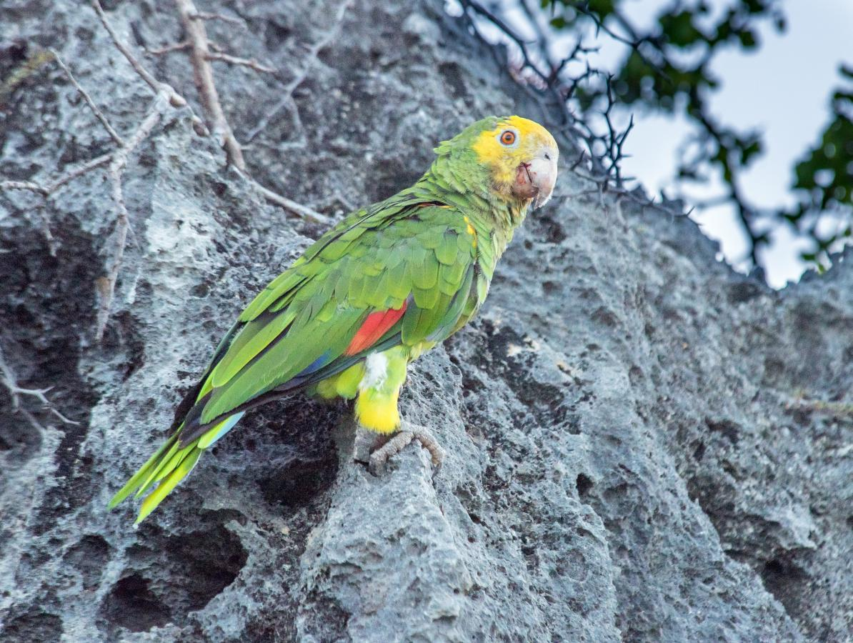 PJ4K Yellow-shouldered Parrot, Bonaire Island DX News