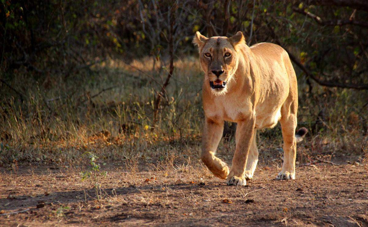 Botswana A25A Tourist attractions spot Lion in Mashatu Game Reserve, located in the Northern Tuli Game Reserve