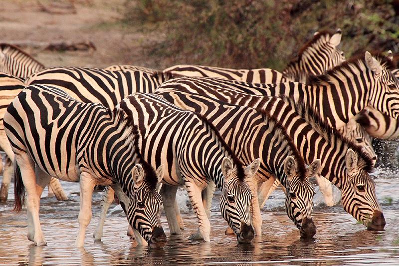 Botswana A25NPD DX News Zebras, Boteti River, Makgadikgadi National Park