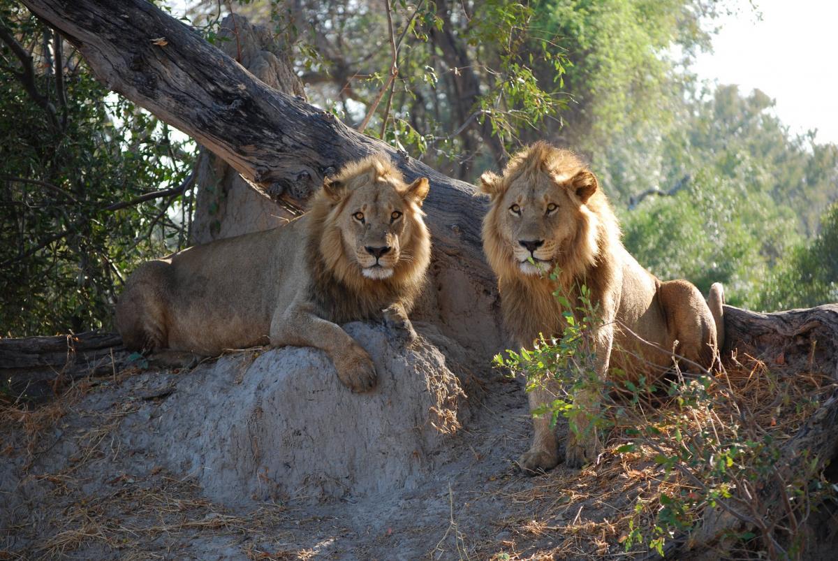 Botswana A25TVB DX News Lions, Okavango Delta, Khwai River Lodge Airport