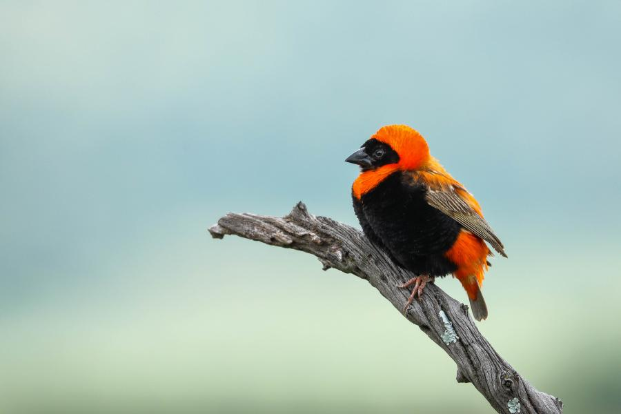 Brazil PQ7MM Tourist attractions spot Southern Red Bishop