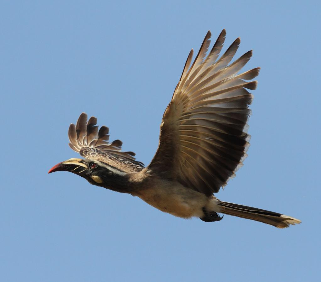 C5/SP3PS African Grey hornbill in flight, Gambia. Tourist attractions spot.
