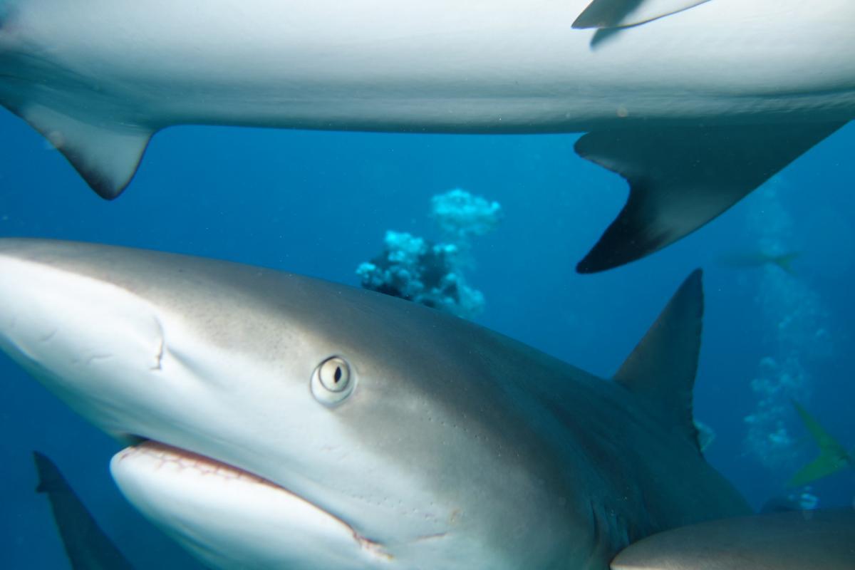C6ADD Акулы, Фрипорт, Багамские острова. Туристические достопримечательности.