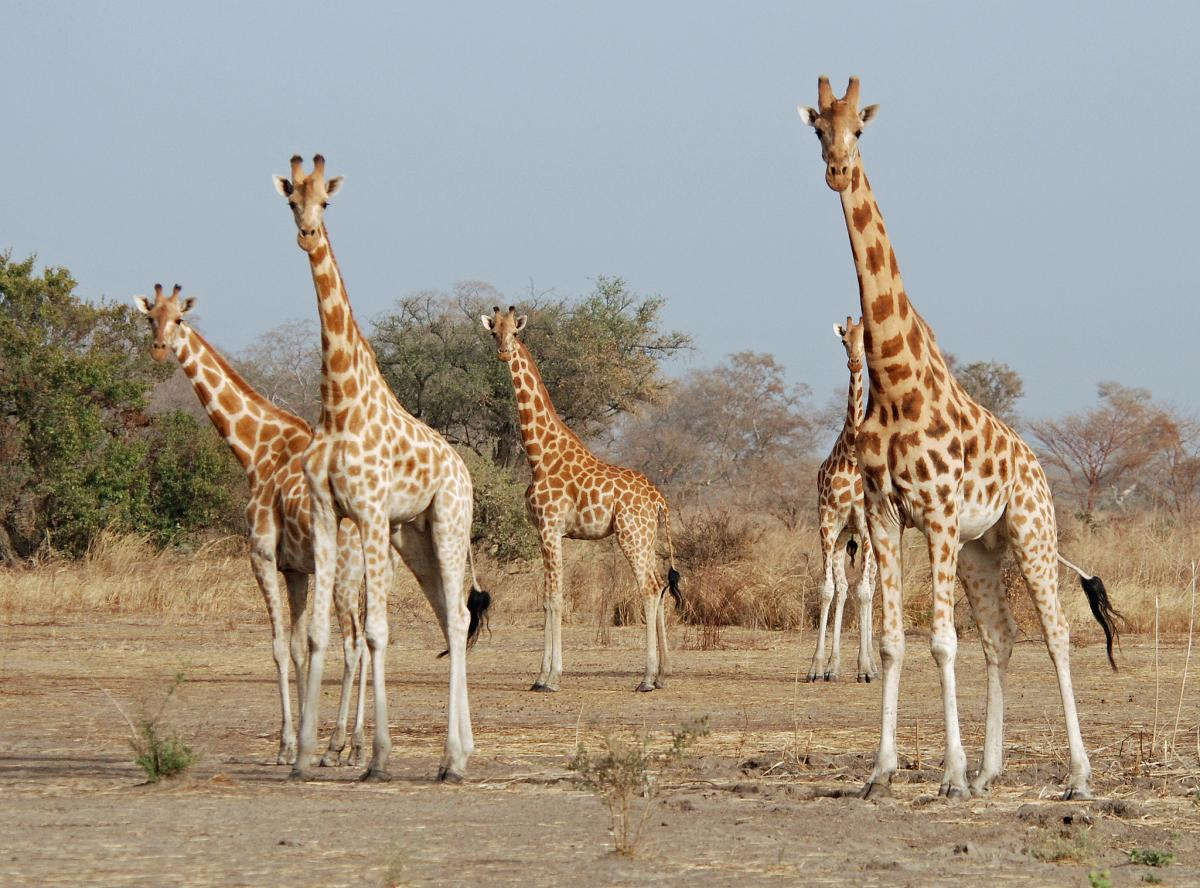 Cameroon TJ3PD Tourist attractions spot Giraffe, Waza