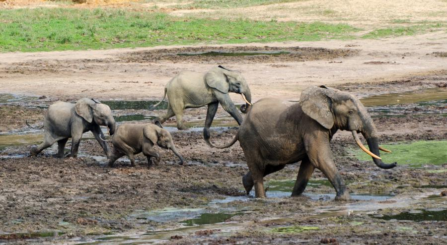 Central African Republic TL0A DX News African Forest Elephants