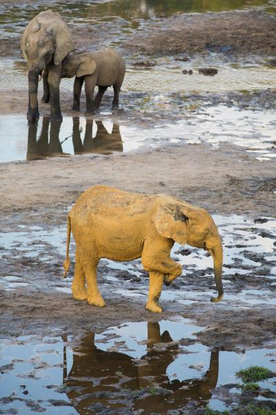 Central African Republic TL0A Tourist attractions spot Yellow forest Elephant, Dzanga Bai.