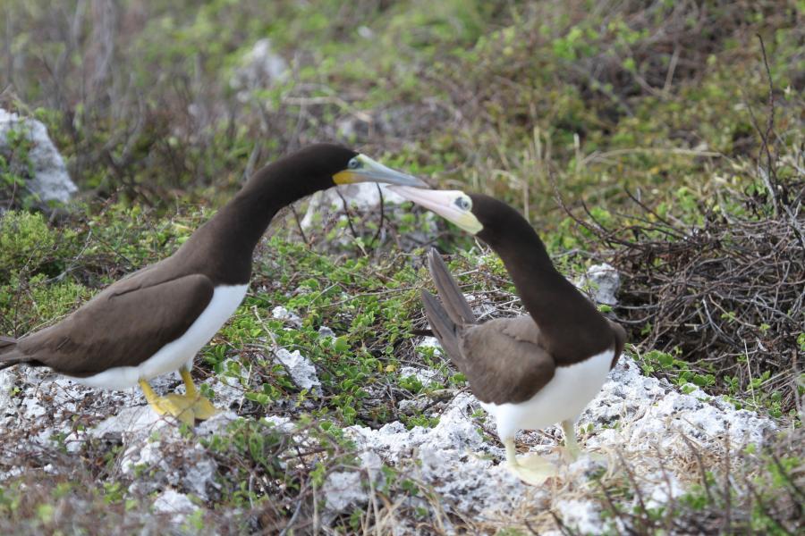 Cayman Brac Island Cayman Islands ZF2WE DX News Brown boobie.