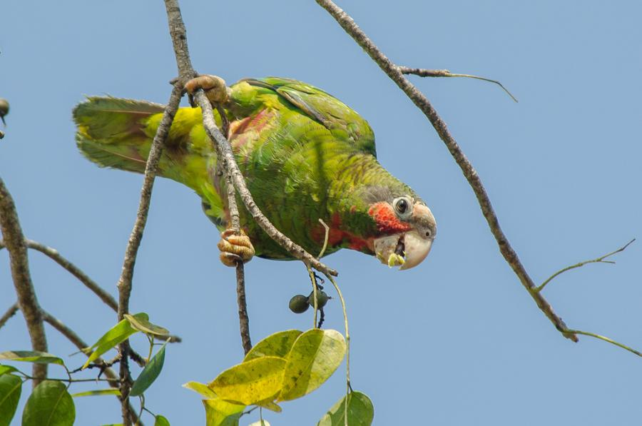 Cayman Islands ZF2AB DX News Grand Cayman Parrot.