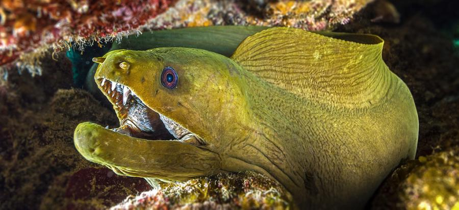 Cayman Islands ZF2AB Tourist attractions spot Green Moray Eel, Little Cayman Island.