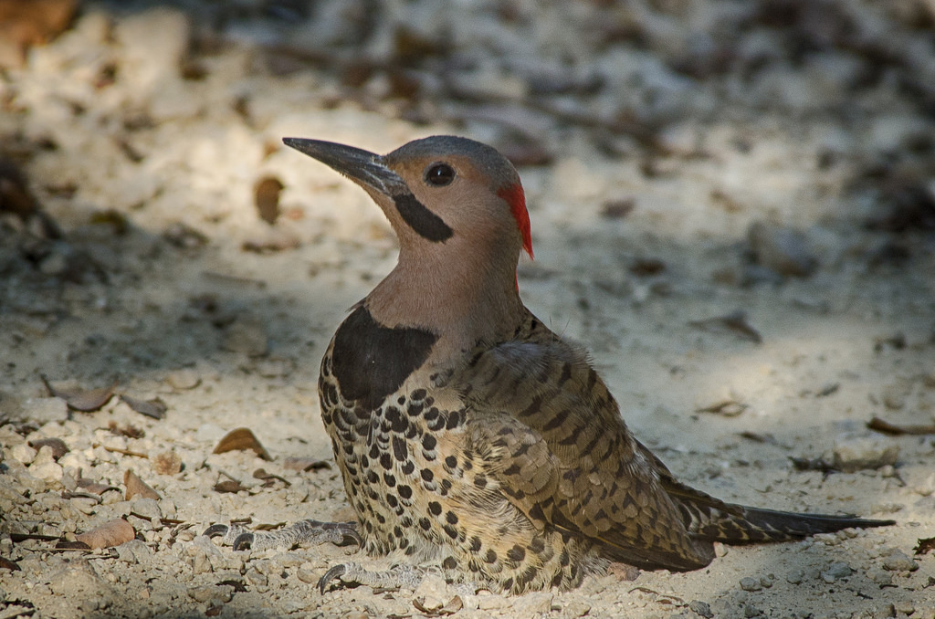 Cayman Islands ZF2AE ZF2AE/8 Tourist attractions spot A Yellow-Shafted Northern Flicker taking a sand bath, Grand Cayman Island