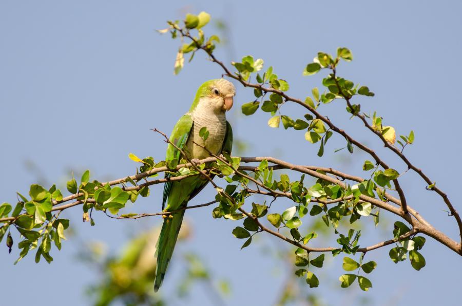 Cayman Islands ZF2ZB DX News Monk Parakeet.