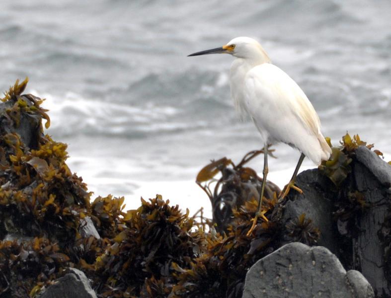 Chile CE2LML XR2K Snowy Egret, Pichelimu.