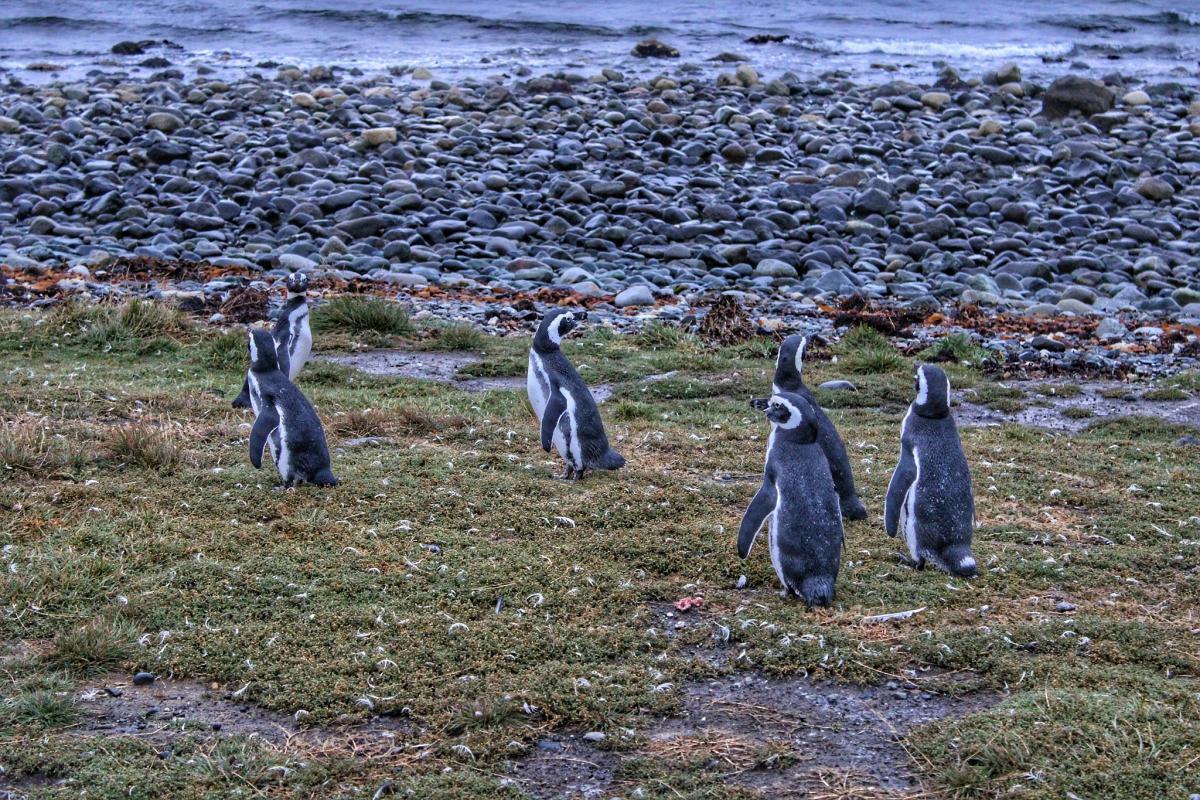 Магеллановы пингвины, остров Магдалена, Чили