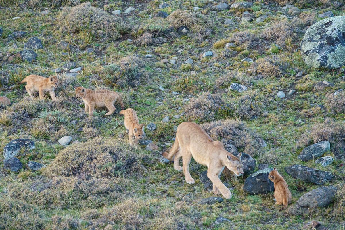Пумы, Торрес дель Пайне, Патагония, Чили