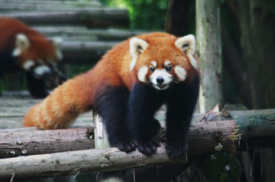 China BA4TB Tourist attractions spot Red Panda