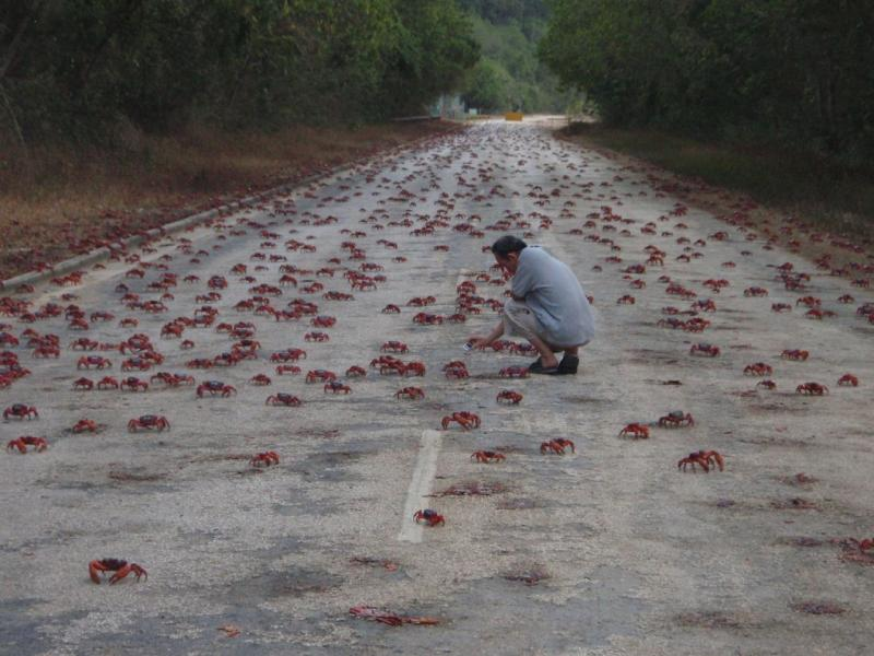 Christmas Island VK9VKL DX News  Red Crabs