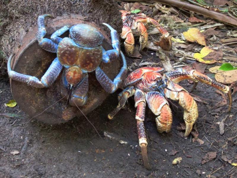 Christmas Island VK9VKL Robber Crabs