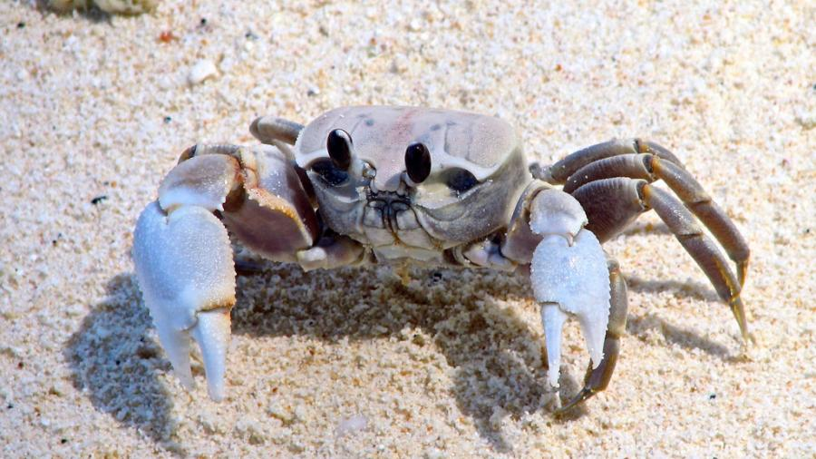 Cocos Keeling Islands VK9CZ Tourist attractions spot Crab