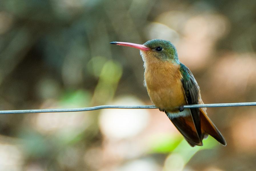 Costa Rica TI7/W1VE Tourist attractions spot Cinnamon Hummingbird.