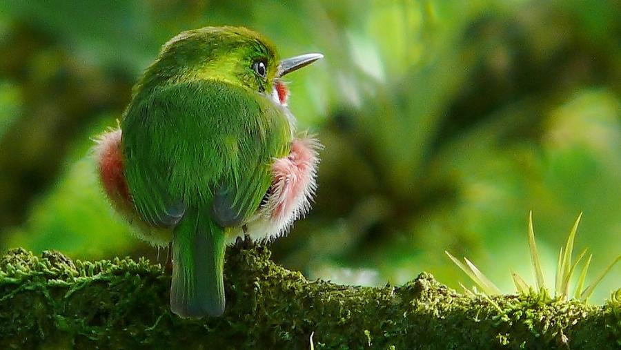 Cuba T42A Tourist attractions spot Cuban Tody.