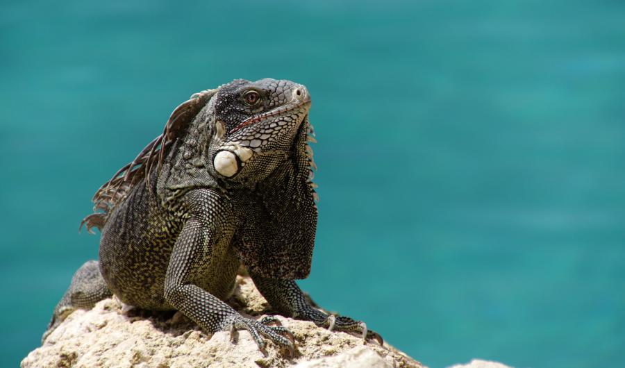 Curacao PJ2/OE3GEA DX News Iguana
