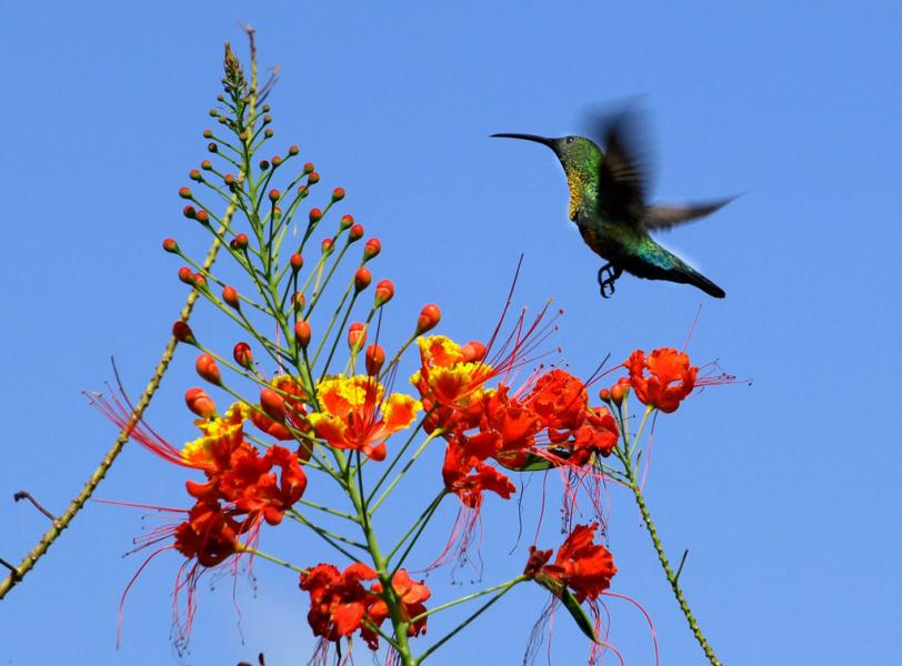 Dominica Island J70BH Humming Bird