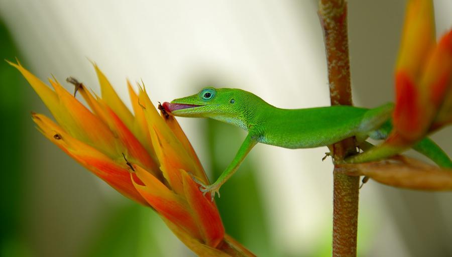Доминиканская Республика HI3AA Туристические достопримечательности Зеленый анолис, Пунта Кана.