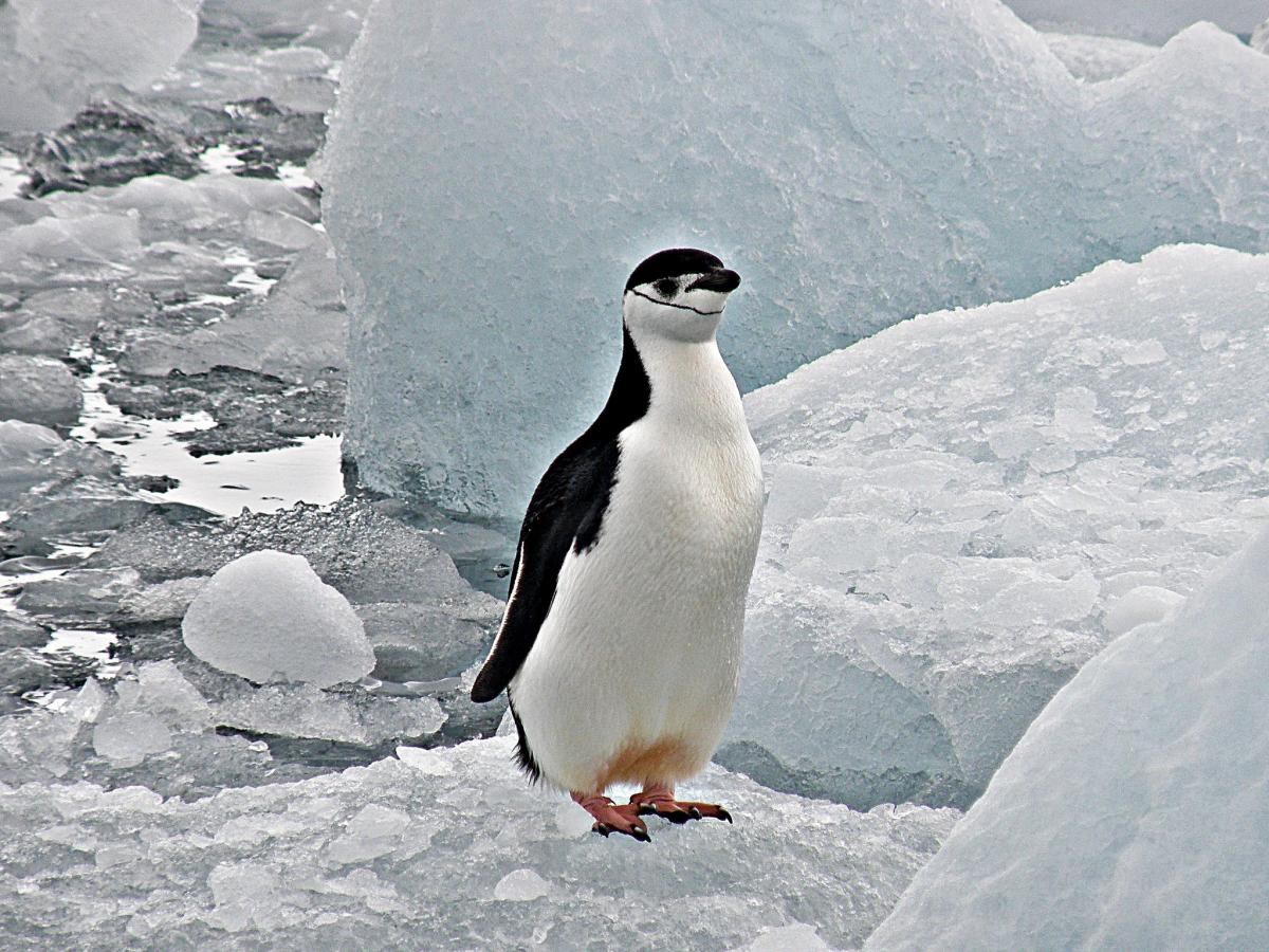 DT8A Chinstrap Penguin, South Shetland Islands. Tourist attractions spot