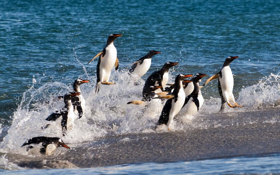 Falkland Islands VP8VPC Gentoo penguins
