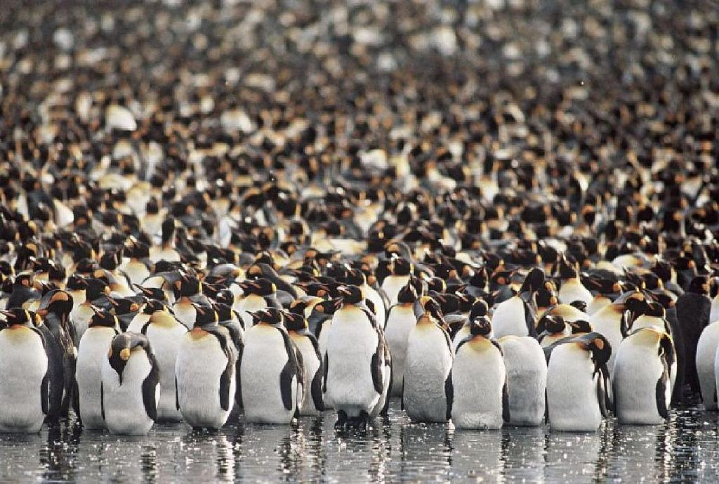 FT5WQ King Penguins, Possession Island, Crozet Islands