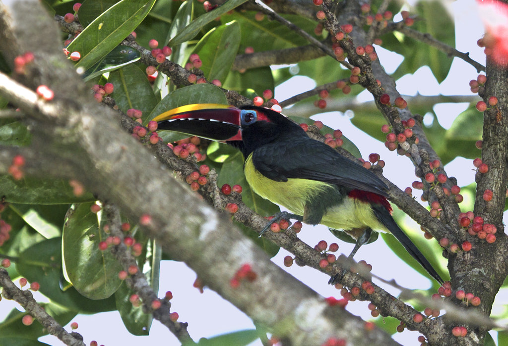 FY4VA Green Aracari, French Guiana
