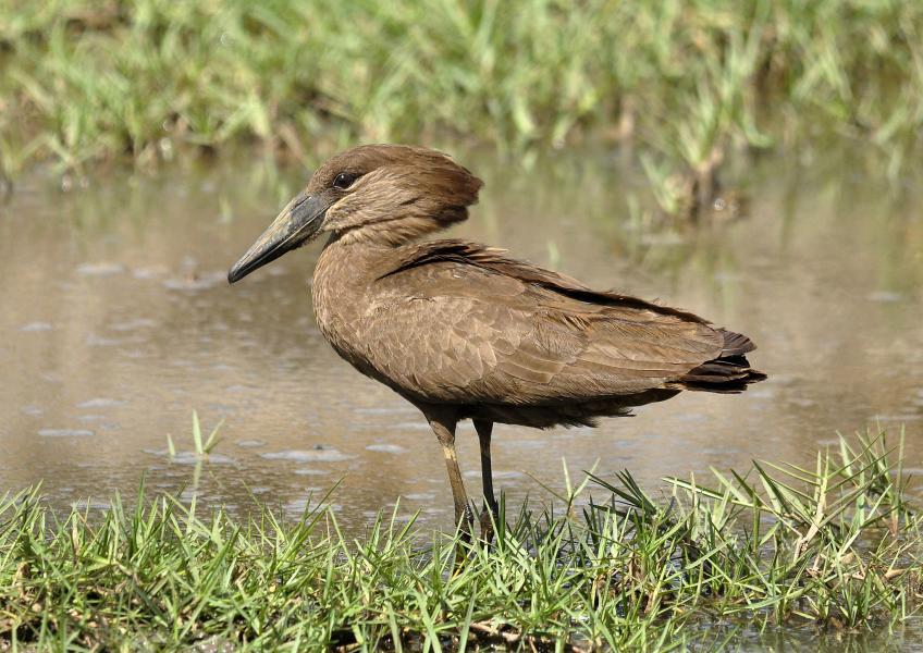 Гамбия C50VB Туристические достопримечательности Молотоглав, теневая птица.