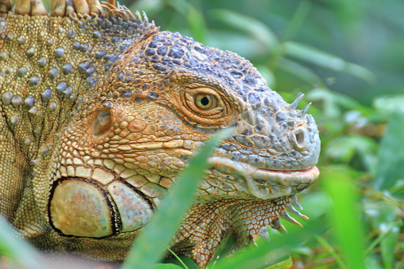 Guatemala TG/SP7VC Iguana
