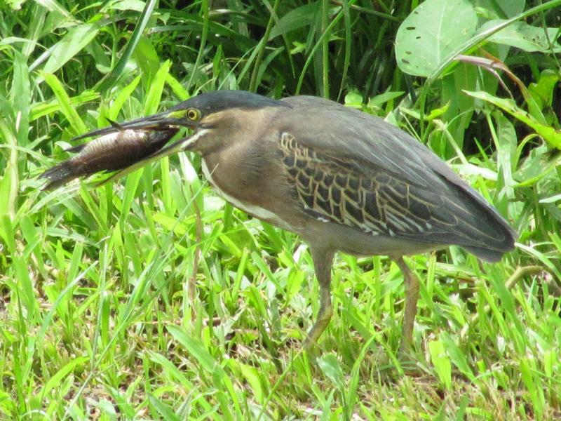 Guyana 8R1/AG6UT Tourist attractions spot Fish for dinner, Heron