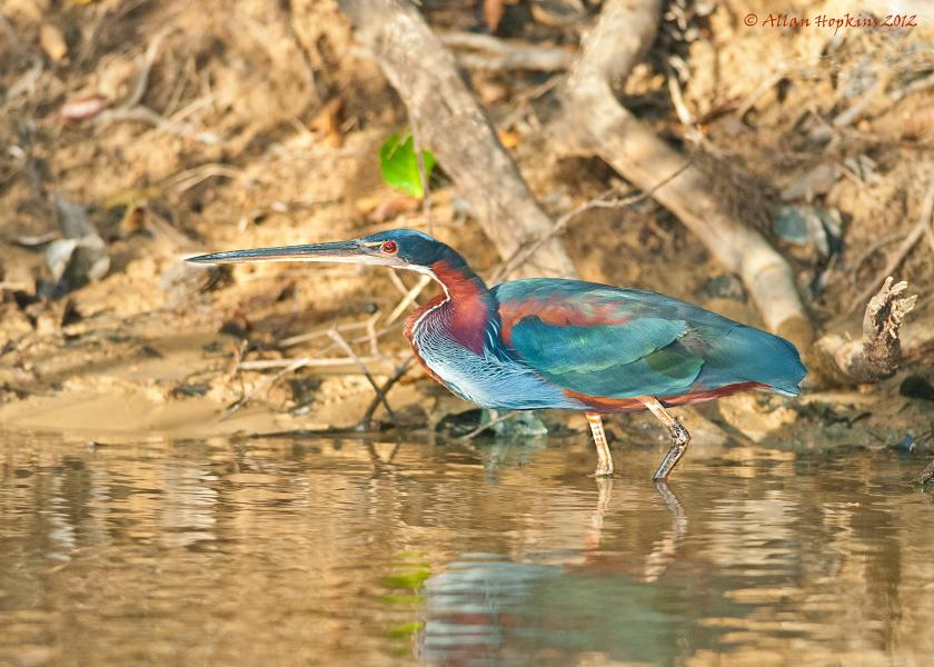 Guyana 8R1/KC0W DX News Agami Heron