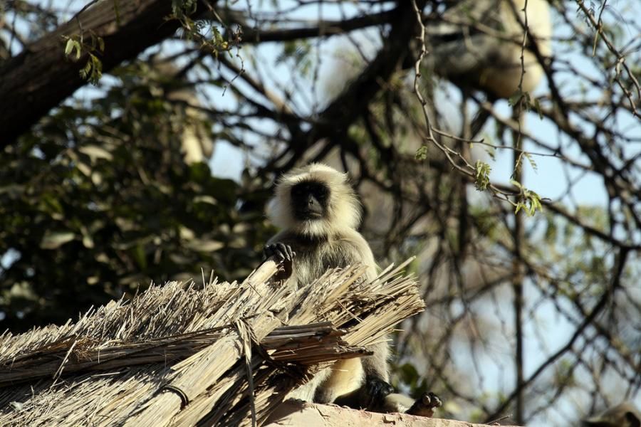 India AT5X DX News Grey-langur.