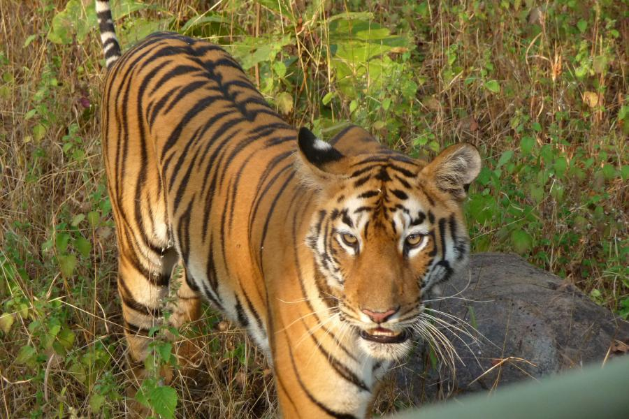 India AT5X Tourist attractions spot Royal Bengal Tiger.