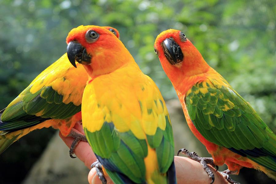 Jamaica 6Y5/RN5M Tourist attractions spot Parrots at Turtle River Falls and Gardens.
