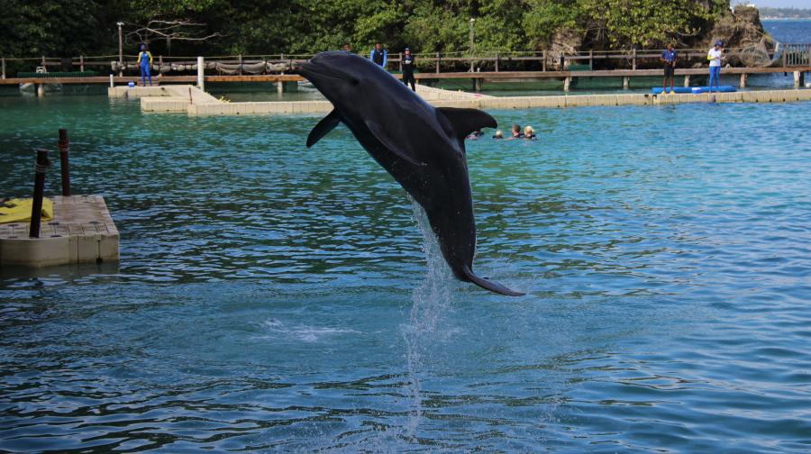 Jamaica 6Y5SGD Tourist attractions spot Dolphin show, Ocho Rios