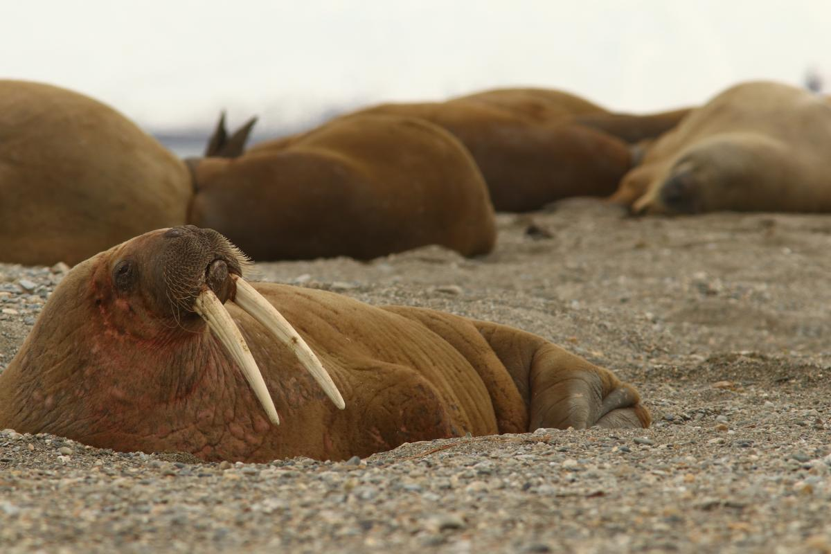 JW100PUT Walrus, Spitsbergen. DX News