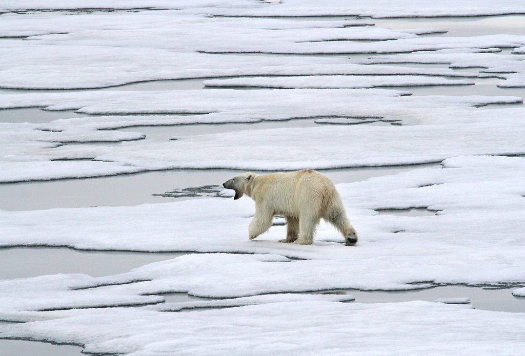 JW100PUT Polar Bear, Spitsbergen. Tourist attractions spot