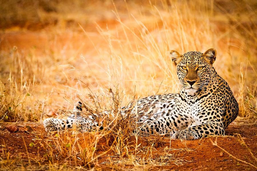 Кения 5Z4/AK0SK Туристические достопримечательности Леопард Самбуру.