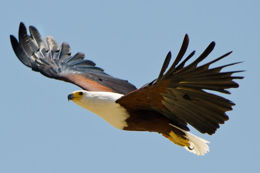 Kenya 5Z4IW Tourist attractions spot Fish eagle, Lake Baringo.