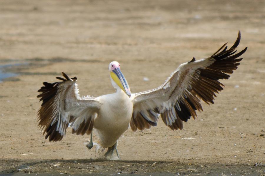 Kenya 5Z4/OE3GEA DX News A landing pelican, Lake Nakuru.