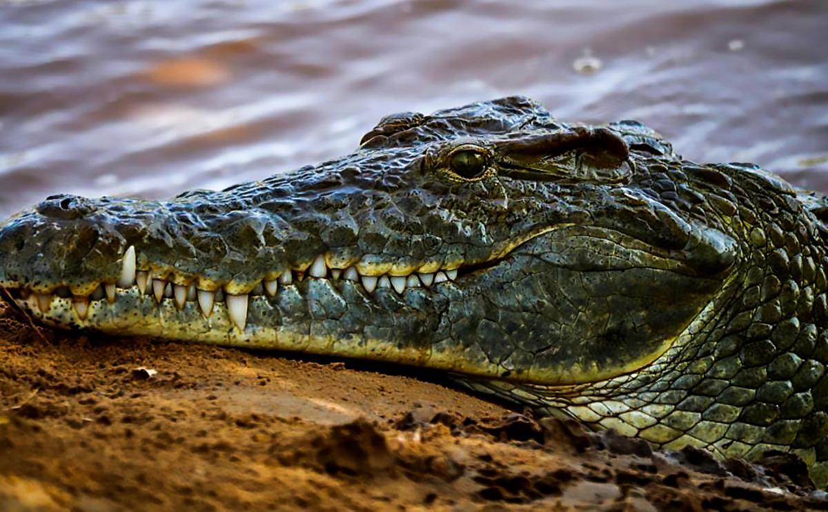 Kenya 5Z4/OZ1AA Tourist attractions spot Crocodile, Tsavo National Park