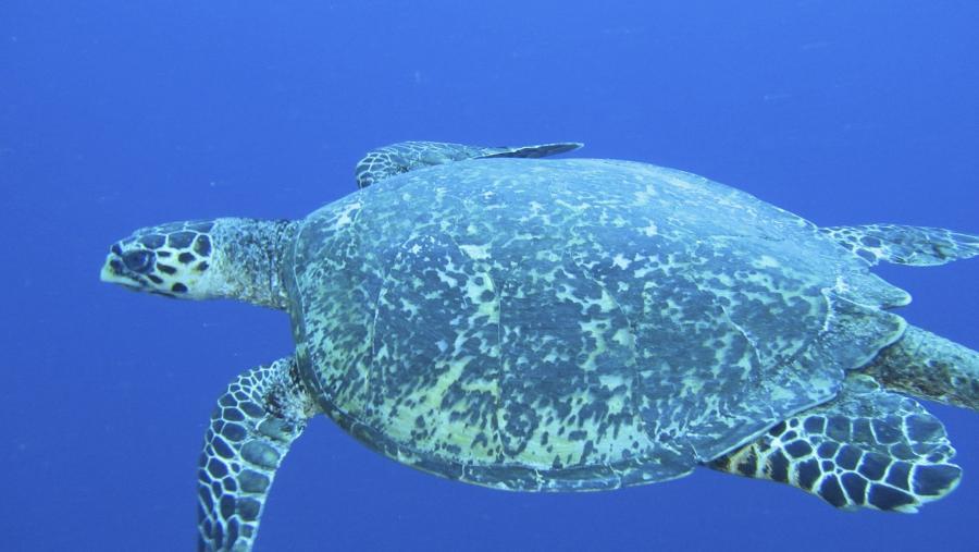 Koror Island T88WM Palau Tourist attractions spot Hawksbill Turtle.